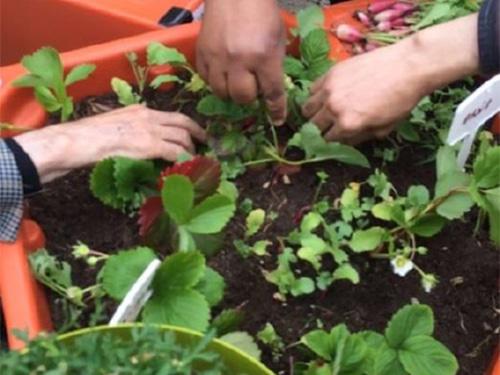 recolter radis Foyer des Invalides INI 2016