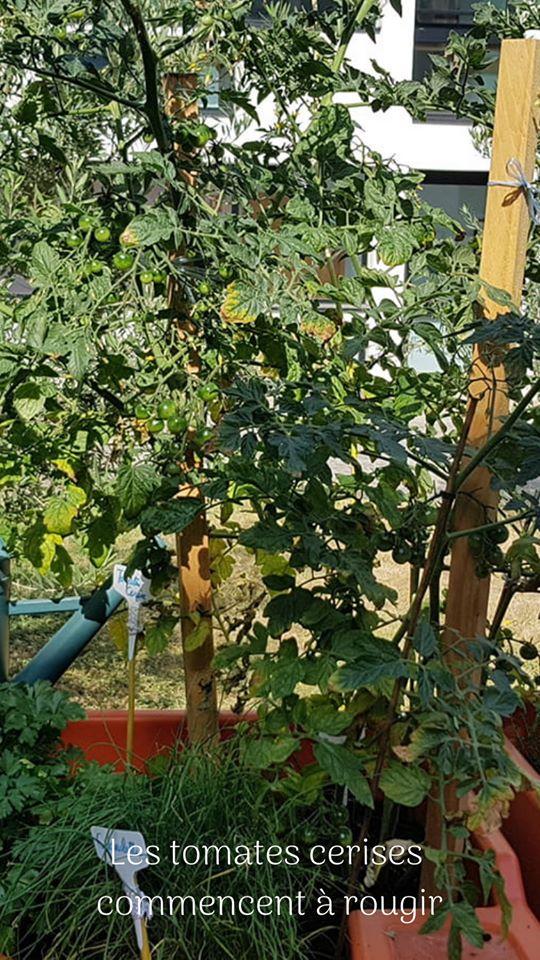 Les tomates cerises au jardin potager LPSP Versailles