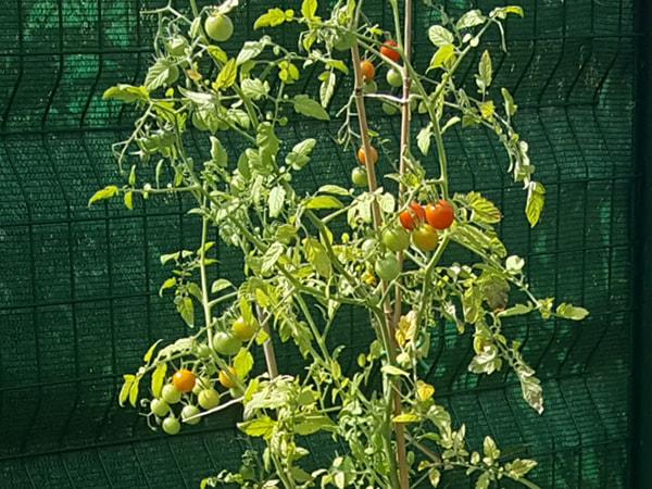 110e jour les premiers tomates cerises rougissent