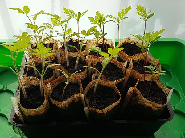 25e jour - les plants s'aggrandissent