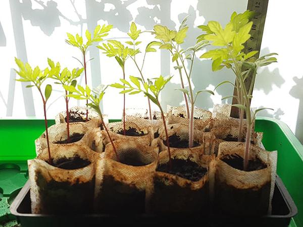 34e jour - hauteur tomate cerise 11 cm - tagète 9 cm