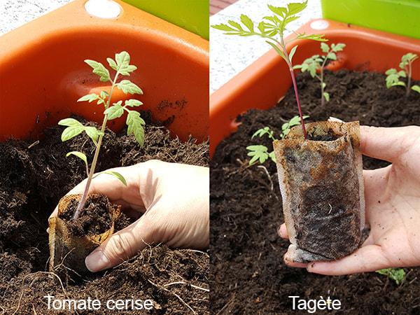 35e jour - transplantation à la jardinière