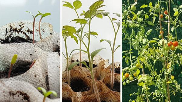 cropped-experimentation-semer-tomate-cerise-tagète.jpg