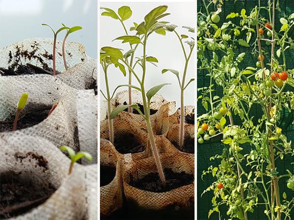 expérimentation semer tomate cerise - tagète