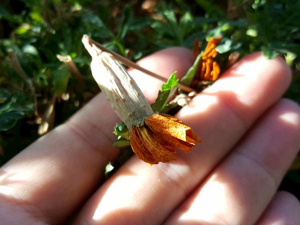fleur fanée tagète