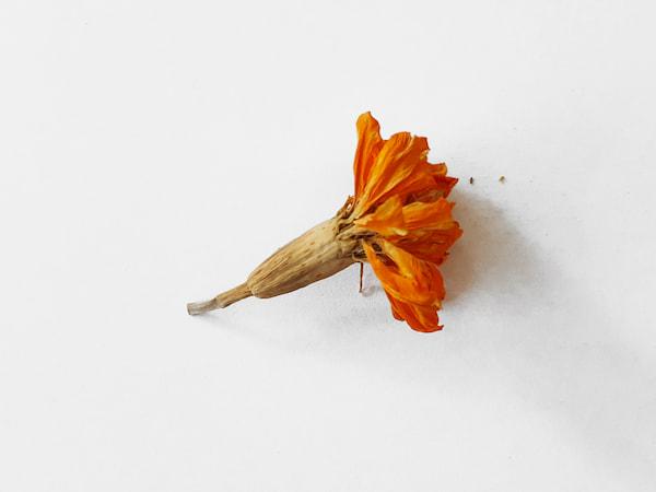 fleur récoltée d'oeillet d'Inde
