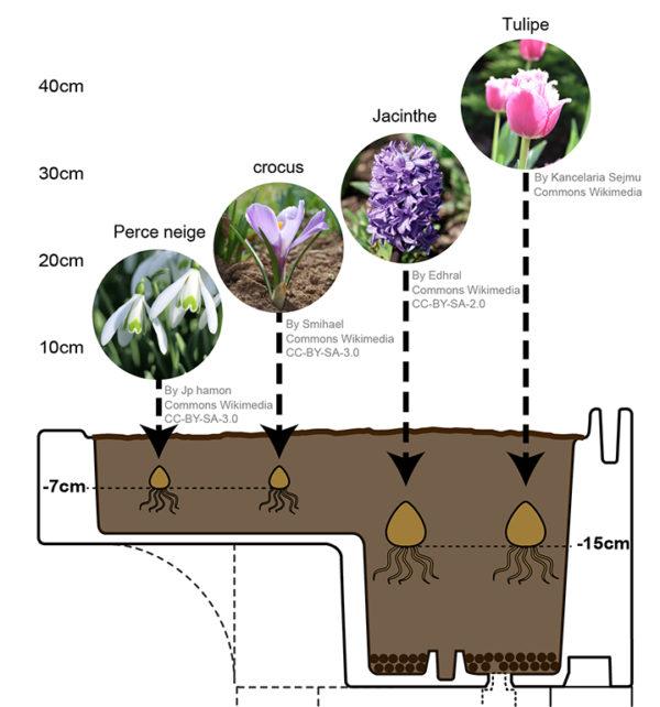 illustration profondeur des bulbes en automne à floraison printemps