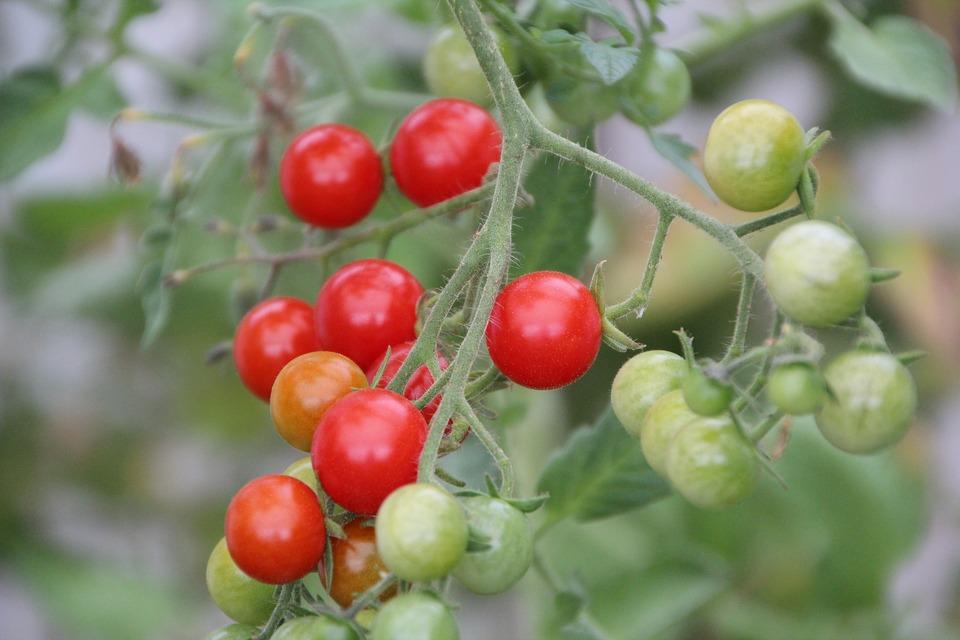 faire rougir tomates cerises
