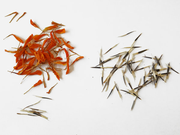 Trier les graines oeillet d'Inde