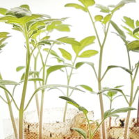 semer en pépinière