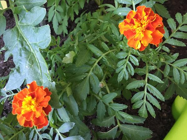 oeillets d'Inde fleurissent au jardin de l'usp du CH Hayange photo du 17 juillet 2019