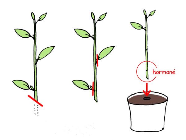 Boutures herbacées schema