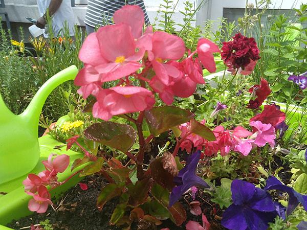 bégonia fleurit dans le jardin adapté à l'hôpital Chardon-Lagache en juin 2019