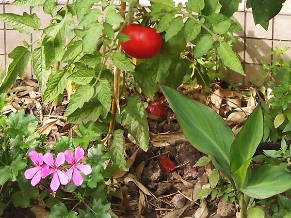 tomate rougit dans le jardin à fin août 2019