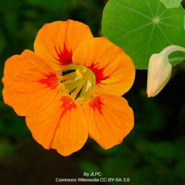Capucine, fleur charmante et coméstible