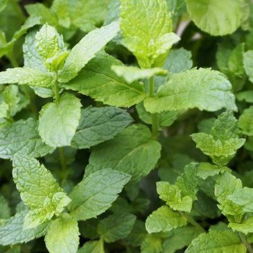 Menthe, plante indispensable au jardin