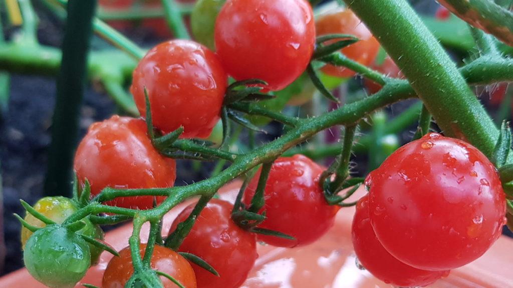 tomate cerise rouge verte