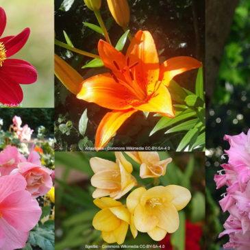 Comment planter vos bulbes à floraison estivale