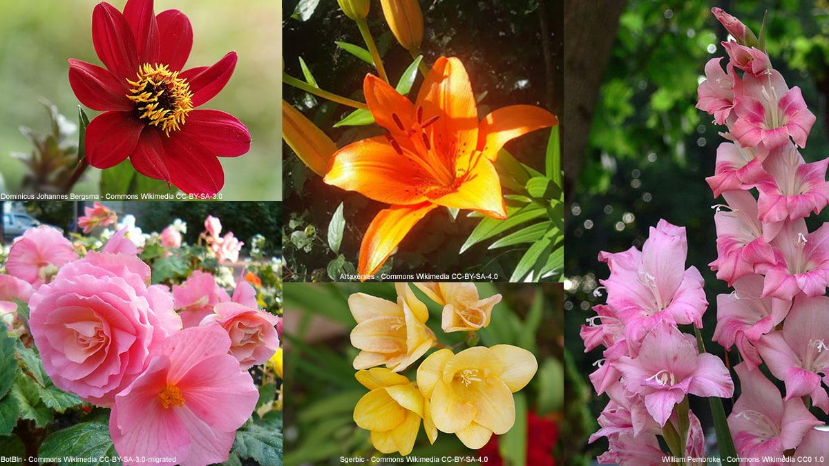bulbes-floraison-estivale