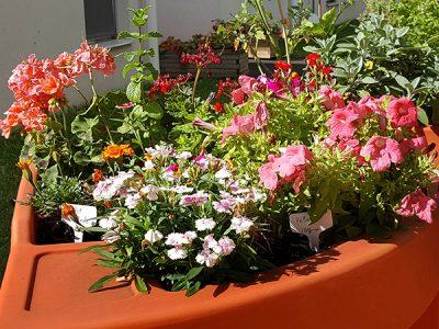 fleurs comestibles au jardin thérapeutique